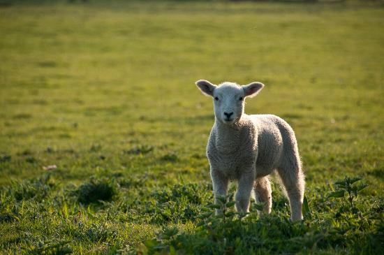Fordhall Organic Farm: Come and see our lambs in the spring on one of our farm trails at Fordhall Farm