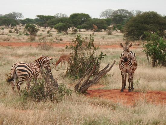 Sun n' Sand Beach: Zebras