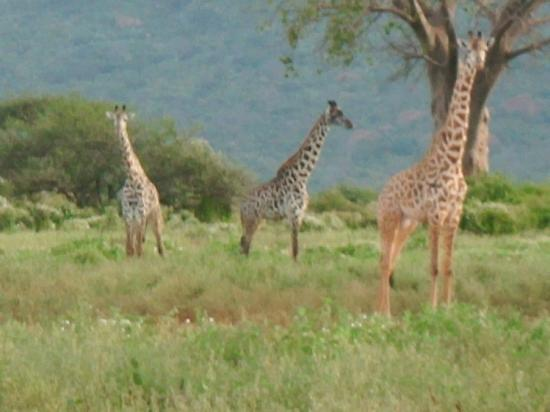 Sun N Sand Beach Resort: Giraffes