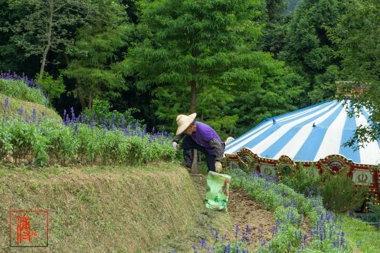 Lavender Cottage: lavender farm