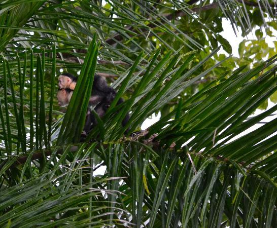 Arenas del Mar Beachfront & Rainforest Resort : monkeys viewed from our balcony