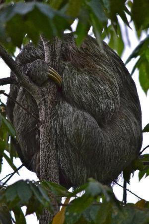 Arenas del Mar Beachfront and Rainforest Resort, Manuel Antonio, Costa Rica : Sloth sleeping right outside of our room!