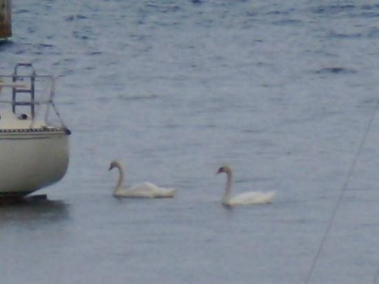 The Anchorage: The swans follow the boats into the docks :)