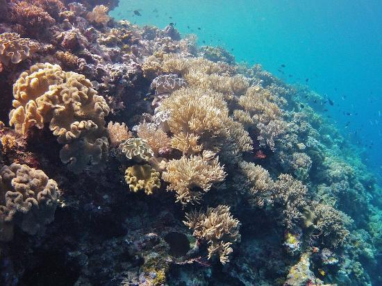 Wakatobi Dive Resort: coral garden