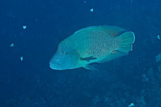 Bunaken Island Resort: napoleon fish.. this one is big