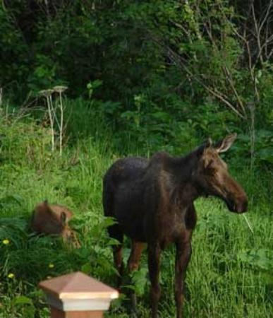 Alaska Sundance Retreat Bed and Breakfast, LLC: Moose Frequent the Area