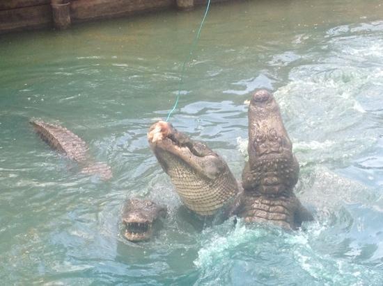 Natchitoches Alligator Park: feeding show