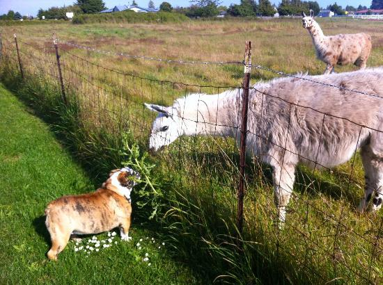 Juan de Fuca Cottages: Fred the dog meeting the Llamas