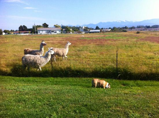 ‪‪Juan de Fuca Cottages‬: More Llama Neighbors