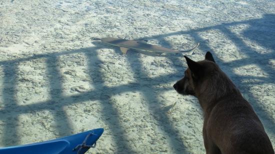 Motu Aito : Aïto chasse les petits requins (vue de la salle à manger...)