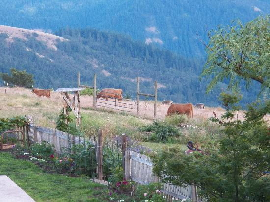 Husum Highlands Bed and Breakfast: Sheep and cattle grazing in our pasture