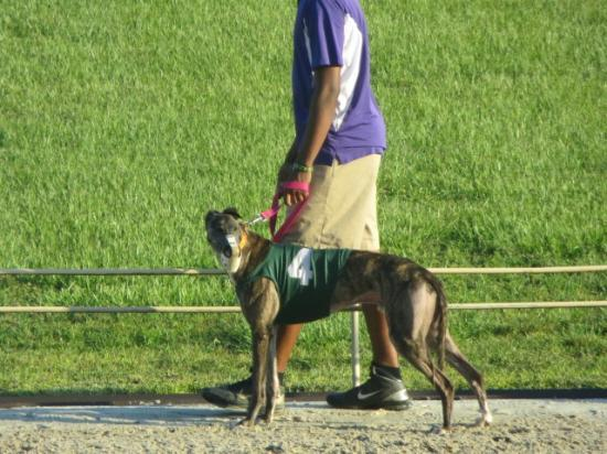 Ebro Greyhound Park: dog