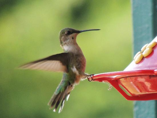 Big Moose Inn: Hummingbird on the feeder on the porch