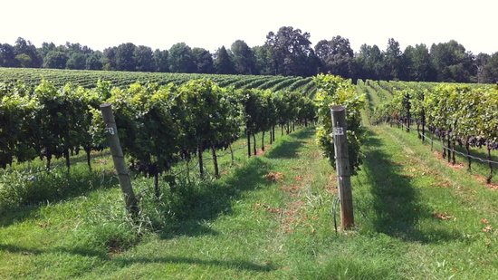 RayLen Vineyards: Rows upon rows of luscious varietal grapes