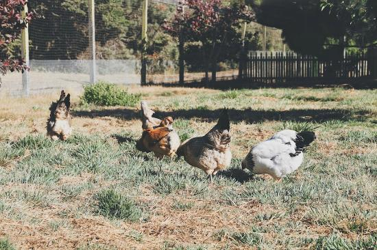 Mar Vista Cottages: Chickens