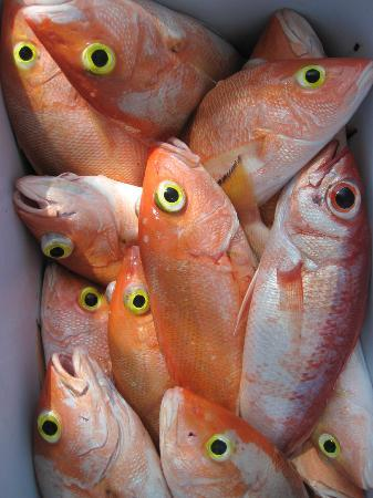 Blue Marlin Beach Resort: Yellow-eye Snapper
