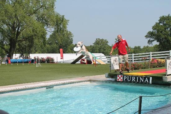 Gray Summit, MO: Diving dog