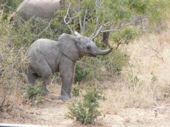Shindzela Tented Safari Camp: Baby ellie