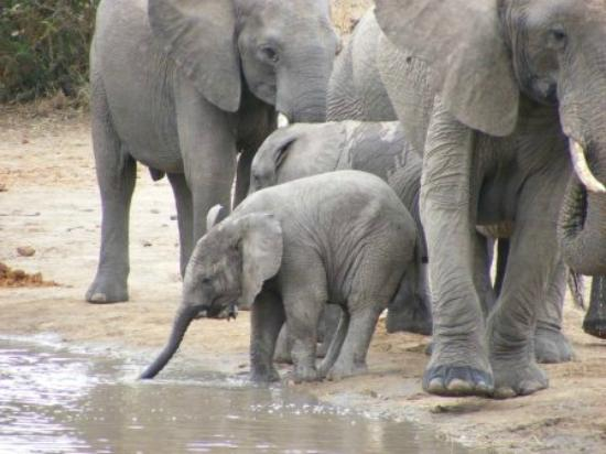 Shindzela Tented Safari Camp: Elephants come to drink