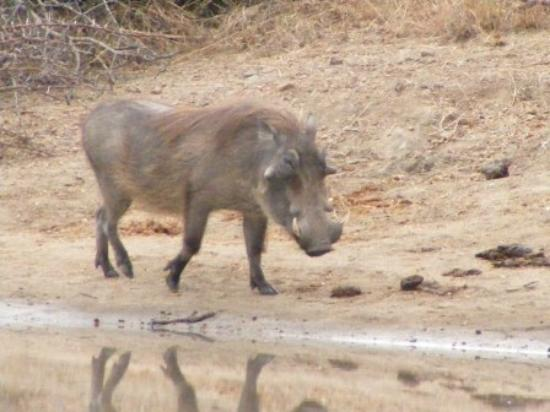 Shindzela Tented Safari Camp: Warthog
