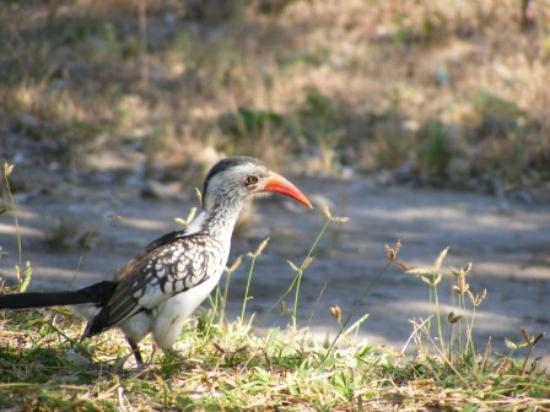 Shindzela Tented Camp: Red billed Hornbill