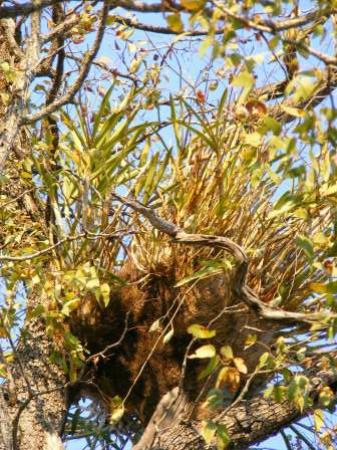 Shindzela Tented Safari Camp: Leopard Orchid in a Mopane tree