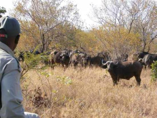 Shindzela Tented Safari Camp : Viewing the buffalo