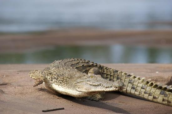 Saadani National Park, Τανζανία: Crocodile on the River