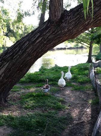 Ye Kendall Inn: Some of the many ducks and geese on the Creek Walk