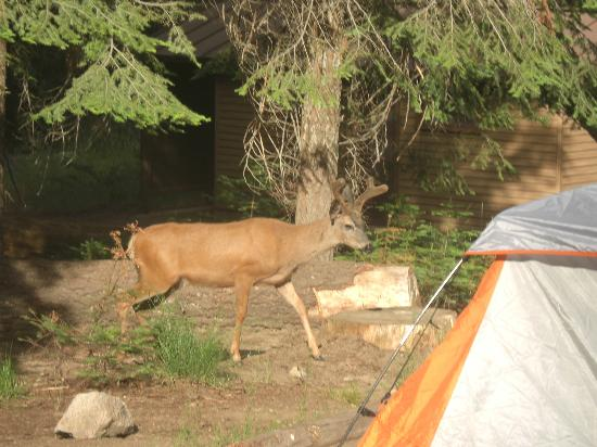 Dorst Campground: Young buck by our tent