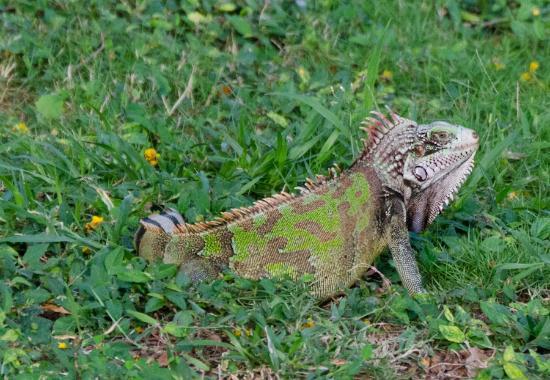 Olveston House: iguana on the lawn