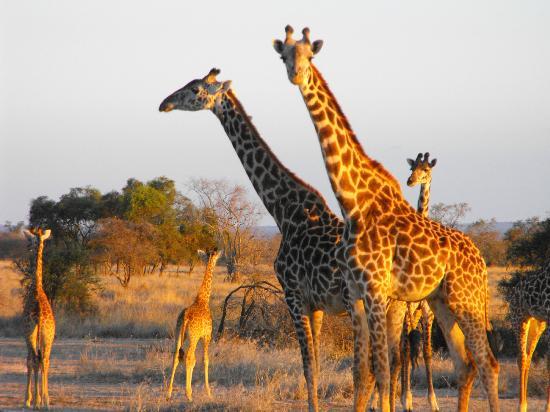 Selenkay Conservancy: Giraffa