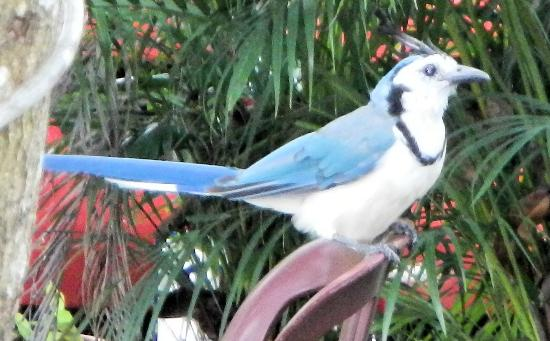 El Sano Banano Beachside Hotel: A white-throated magpie-jay that stole sugar packets from the breakfast table.