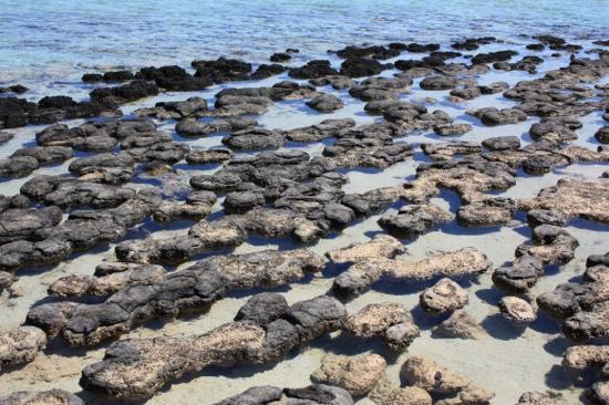 hamelin pool stromatolites picture of stromatolites of