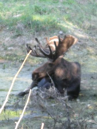 BrushBuck Wildlife Tours - Day Tours: moose in grand teton