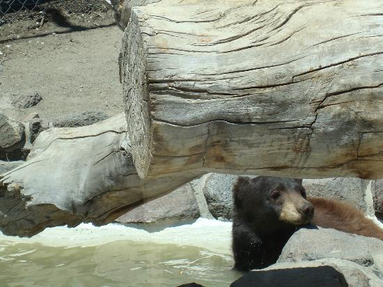 Animal Ark: Black Bear cooling off after lunch