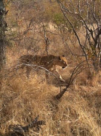 Mohlabetsi Safari Lodge: Lioness