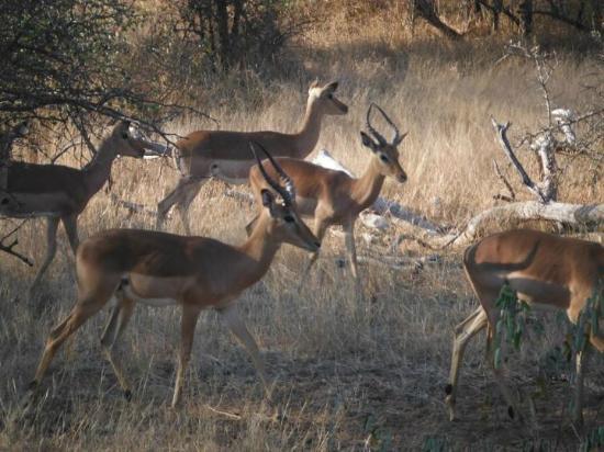 Mohlabetsi Safari Lodge: Impala
