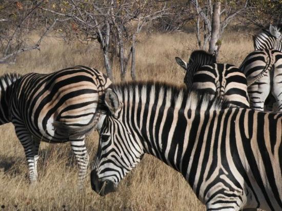 Mohlabetsi Safari Lodge: Zebras