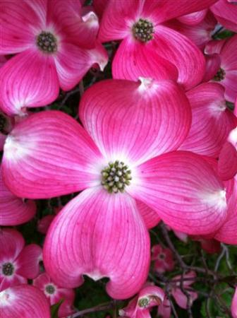 A View of the Lake: Verigated Dogwood flower