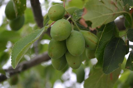 Agriturismo Bonello: Plum trees