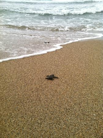 Playa Viva: baby turtle