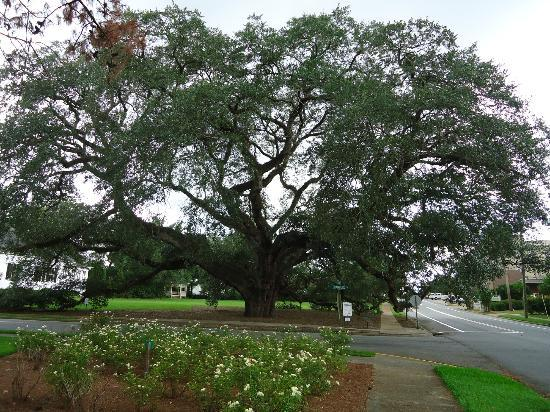 ‪Thomasville's Historic Big Oak‬