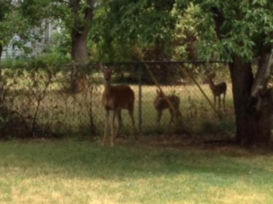 Orchard Creek Cottages: Doe and Fawns, July 2012