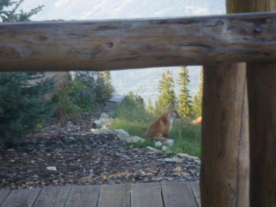 Moonlight Mountain Homes: A fox, hanging out nearby while I was in the hot tub.  Cute - but people - Don't Feed the Animal