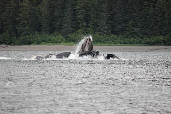 Hoonah Travel Adventures: Upward lunge feeding of humpback whales after creating a bubble net