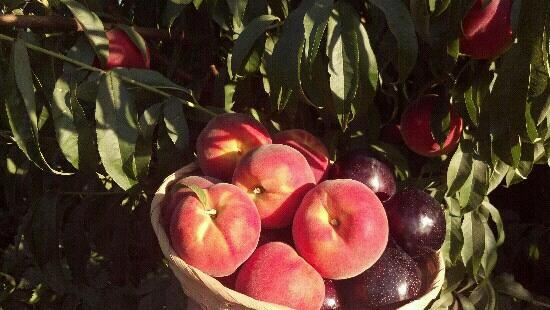 J&K Farley Farms: U-Pick peaches,plums,grapes and tomatoes!