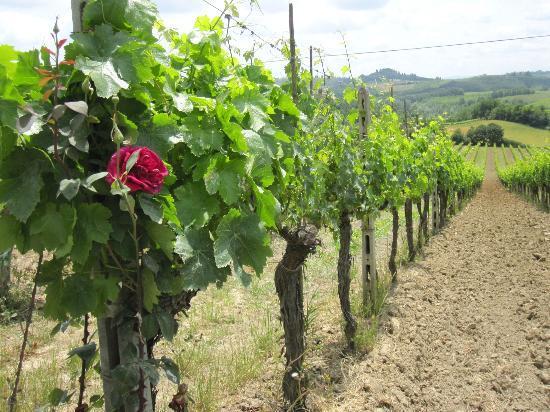 Fattoria Poggio Alloro: Vineyard