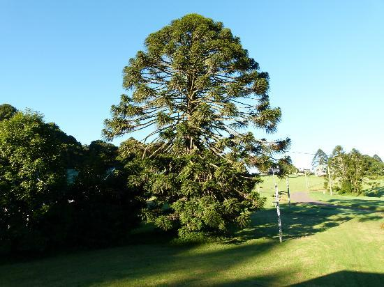 Bunya Mountains Accommodation : Bunya Pine