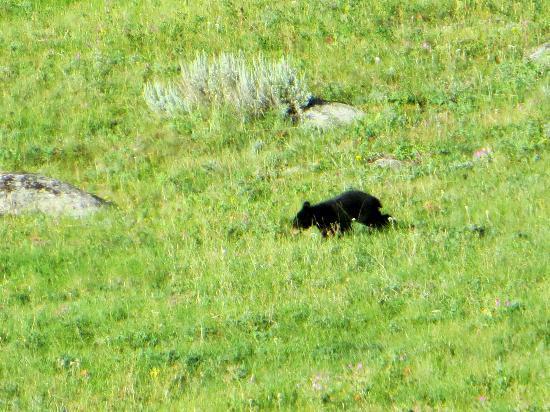 Lamar Valley: Black bear cub!!!